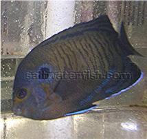 Bluefin Pygmy Angelfish
