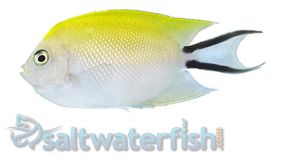 Japanese Swallowtail Angelfish: Male