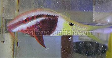 Bicolor Goatfish - Fiji - MAC Certified