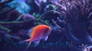 Sunburst Anthias- Super Special