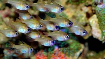 Threadfin Cardinal