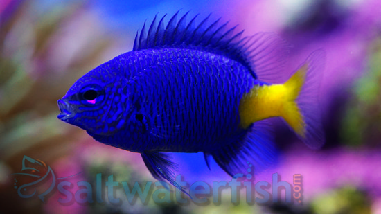 Yellowtail Blue Damsel - Group of 5