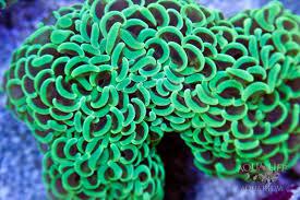 Hammer coral metallic aus
