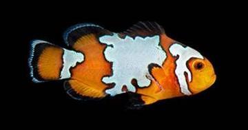 Black Ice Snowflake Clownfish - Captive Bred