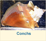 Conchs