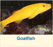 Goatfish