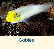 Gobies