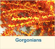 Gorgonians