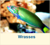 Wrasses