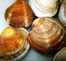 Cleaner Clam  - Group of 5