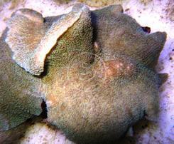 Mushroom Coral: Green Velvet