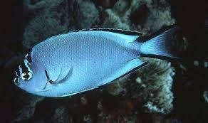 Watanabei Angelfish - Female