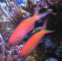 Ignitus Anthias: Male - Limit 1 Super Special