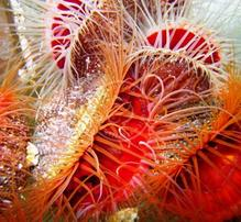 Flame Scallop - Group of 2