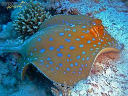 Blue Spot Stingray: Round