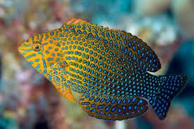 Potters Wrasse