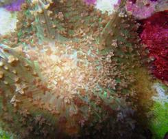 Mushroom Coral: Hairy Lavender - Aquacultured