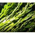 Halimeda Plant