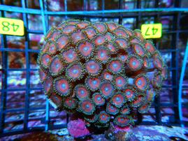 A47 -ZOA COLONY ROCK INDO