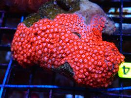 B114 - GONIOPORA INDO RED