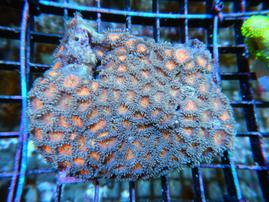 B13 -ZOA COLONY ROCK INDO