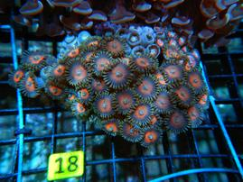 C18 -ZOA COLONY ROCK INDO