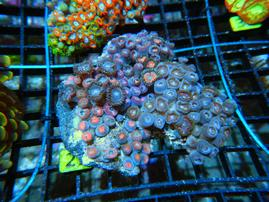 C29 -ZOA COLONY ROCK INDO