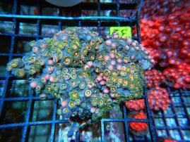 C31 -ZOA COLONY ROCK INDO