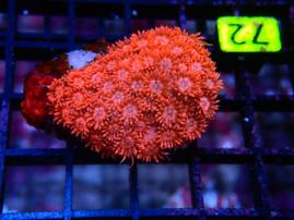 D72 - GONIOPORA INDO RED