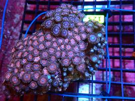 E125 - ZOA INDO BLUE EYE RED