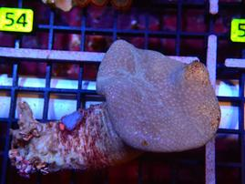 E49 - LEATHER INDO NEON LONG POLYP