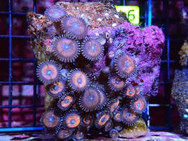 ZOA INDO BLUE EYE RED