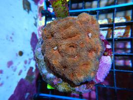 ACAN ECHINATA INDO CULTURED