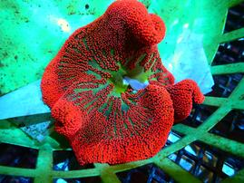 ANEMONE SADDLE ULTRA RED