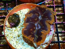 CROCEA CLAM 2 TO 3 IN