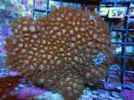 S45 -ZOA COLONY ROCK INDO