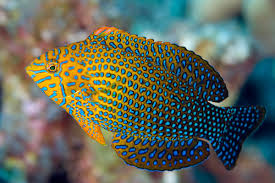 Potters Wrasse - Hawaii