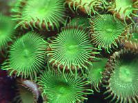 Button Polyp (Paly): Metallic