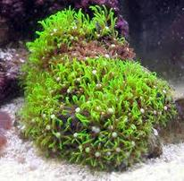 Star Polyp: Green