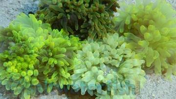 Bubble Tip Anemone: Color