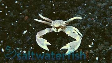 Anemone Crab: White