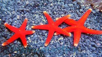 Red (Fromia) Starfish