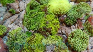 Mushroom Polyp - Ricordea Green - Limit 1 - Super Special SAVE 75%
