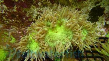 Elegance Coral: Color Tip