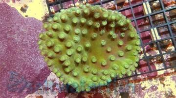 Pagoda Cup Coral: Green-Super Special