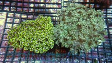Goniopora Coral: Green