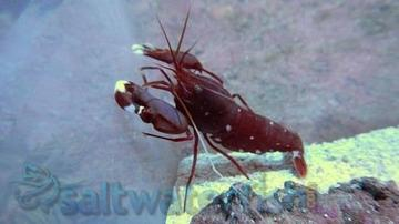 Pistol Shrimp - Red - Atlantic