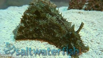 Dolabella Sea Hare - Limit 1 Super Special