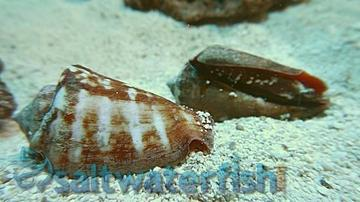 Tiger Sand Conch - Limit 3 Super Special Save 44%