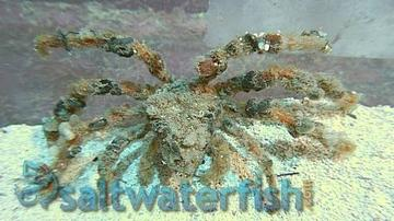 Decorator Crab - Spider